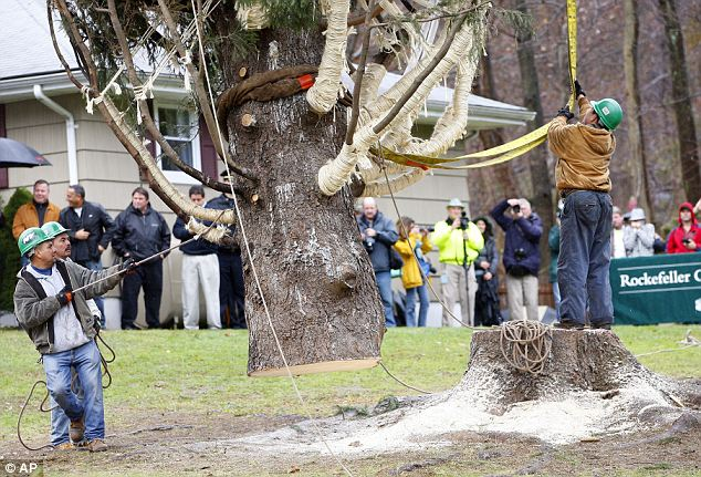 Easy does it: Crews use a crane to hoist a 80 ft. tall, 50 ft. diameter, 10-ton Norway Spruce tree from its base at the home of Joseph Balku