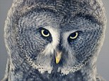 These stunning pictures were created by UK-based photographer Tim Flach, who has made a name taking intimate photos of animals. Here, an owl (left) and an ape (right) pose for the camera