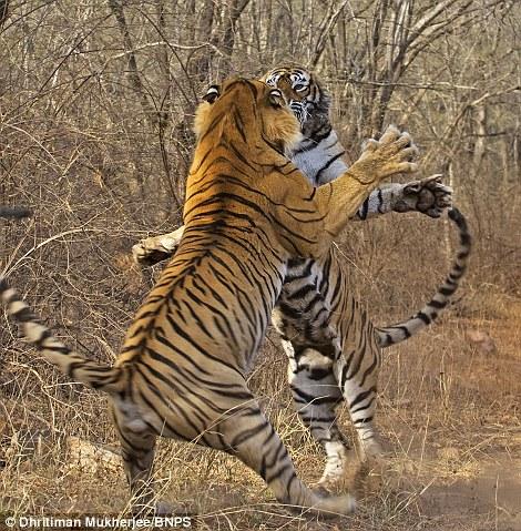 Tigress fight