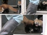 A baby red panda almost jumps out of her fur when a zoo keeper surprises her during meal time