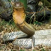 8 of the World's Deadliest Snakes