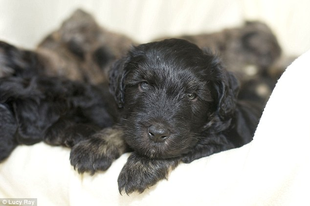 Landmark: Chris Walker's dog Ella gave birth to a litter of 13 Bergamasco puppies - a record