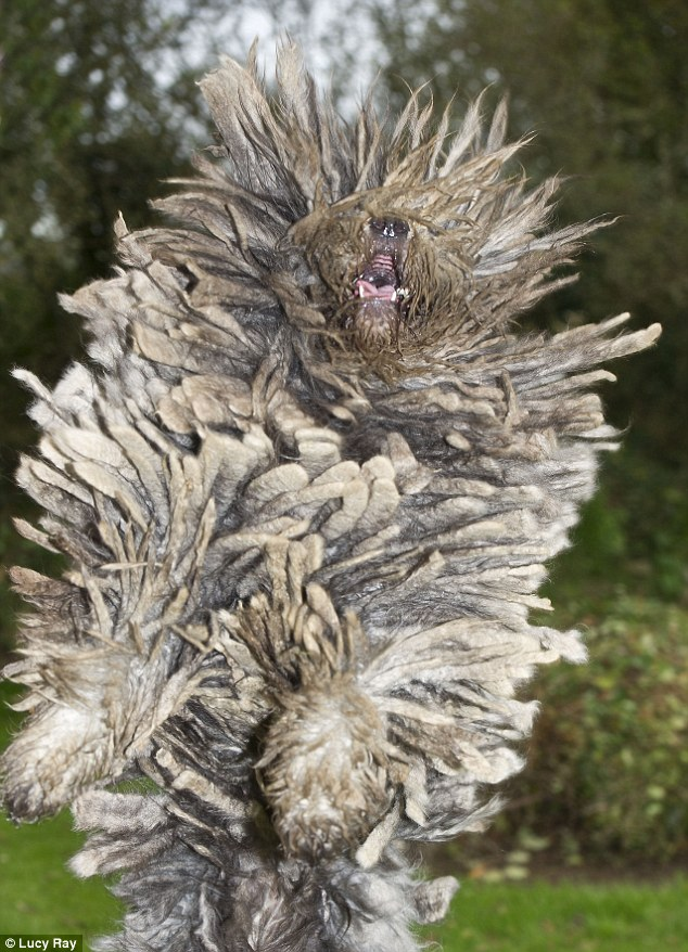 Shaggy: Impressive adult Bergamasco Biaga jumps for a ball, displaying its dreadlocks to full effect