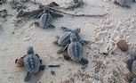 Loggerhead turtle hatchlings scramble their way to the water.