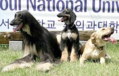 Snuppy, the first cloned dog, and his Afghan hound dad