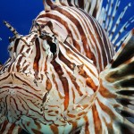 سمكة الأسد Lionfish