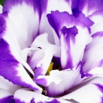 زهور الليزيانتوس Lisianthus