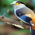 طائر فضي الصدر – Serilophus