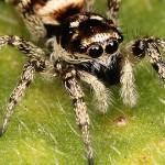 عنكبوت الحمار الوحشي – Zebra Spider