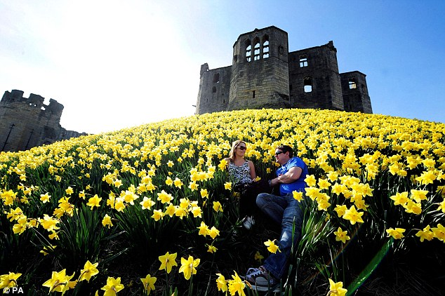 Spring has sprung: Daffodils are one sign that Spring is here