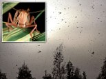 A swarm of an estimated 30million locust has descended on Egypt (including these insects seen over the Al-Mogattam district of Cairo) as Israel braces for the infestation to head their way