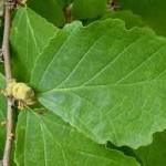 hamamelis varices 150x150 Como quitar varices – Remedios Naturales