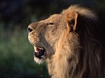 Attack: A woman was mauled to death by a lion after it pounced on her when she was making love to her boyfriend outdoors