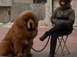 Tibetan mastiff dog is displayed for sale at a mastiff show in Baoding, Hebei province, south of Beijing