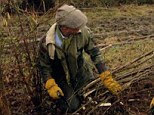 Expertise: Prince Charles lays a hedge at Highgrove. He says he loves undertaking the traditional craft in a special edition of Countryfile