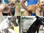 A pup named Cedar was found near a golf course (top left) and after being cared for by the PAAWS animal center in Antigua, he looked like an entirely different dog (top right) when he was adopted by a family.
