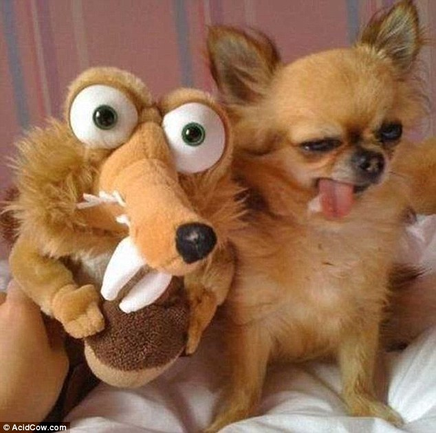 A little squiffy: It must have been a heavy night for this lightweight Chihuahua but at least its got a friend to nurse it through the morning