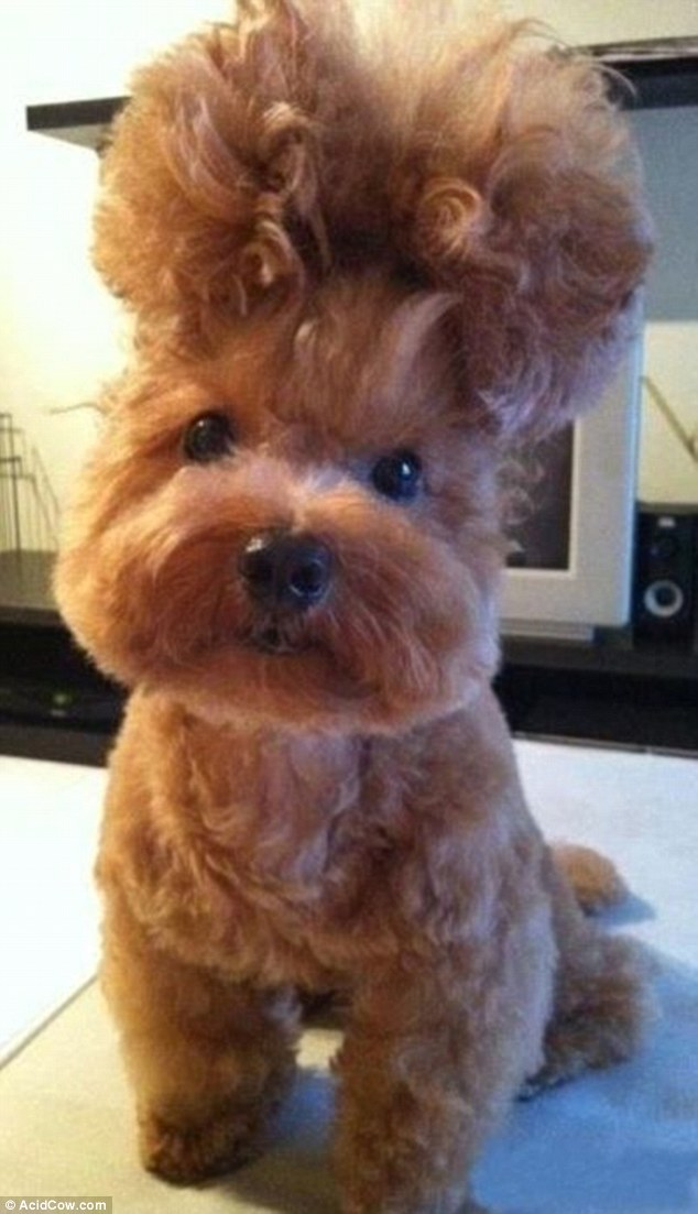Hair of the dog: A backcombed bouffant was the must-have style for this pampered pooch