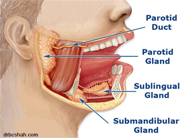 Salivary-glands