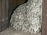 Police sting: A seven metre wasp nest was found by police at an empty house on the island of Tenerife