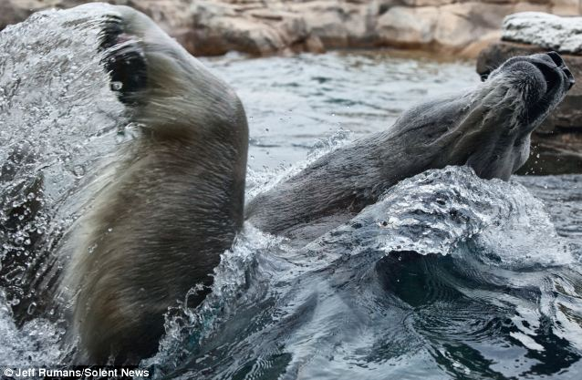 Posing: In another picture, he flaps his powerful paws into the air as he appears to swim backstroke through the water