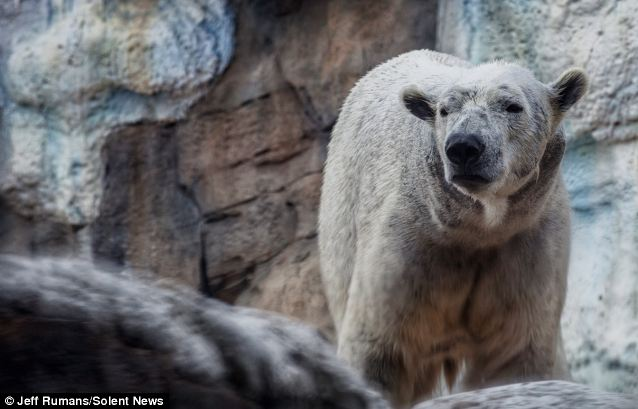 Drying out: The 1,000lb polar bear dries out after his eye catching antics in the water