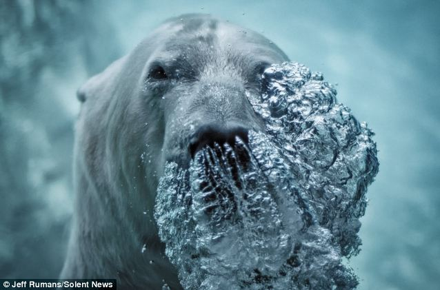 Power: The seven-year-old male polar bear splashed around in his exhibit and blew bubbles while posing underwater for photographer Jeff Rumans