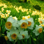 زهرة النرجس  Narcissus Flowers