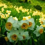 زهرة النرجس  Narcissus Flowers