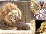 Bonedigger the lion interacts with his dachshund friend Milo