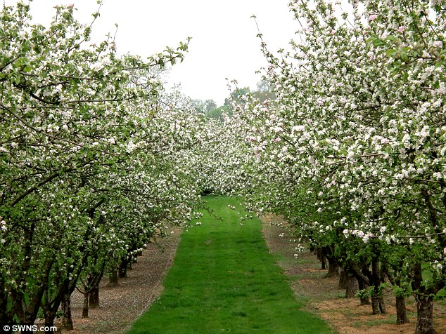 Bumper crop: It may have been a poor start to the spring, but Somerset cider makers are celebrating a blooming start to the apple growing season