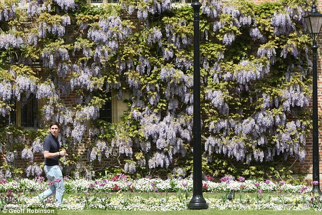 Blooming marvellous: Swathes of wisteria plants bloomed in the sunshine at Magdalene College at Cambridge University today