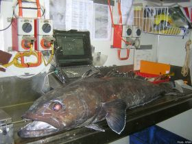 A Patagonian toothfish on the electronic measuring board