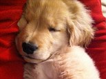 Ray Charles is the blind golden retriever puppy who's become the toast of the Internet