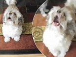 Barking mad! Strange video shows Cody the dog whose blood-curdling yelp sounds like a man burning alive