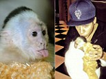 Capuchin monkey Mally, formerly owned by Justin Bieber, sits in the quarantine area at Serengeti Park in Hodenhagen