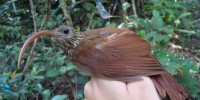 Amazonian Treasure Trove Yields 15 New Bird Species