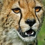 الفهد cheetah