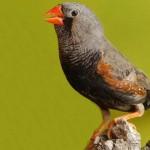 طائر الزيبرا فينش