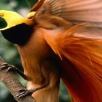 طائر الجنة Raggiana