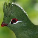 طائر التوراكو Turaco