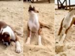 Sweet and sour: The boxer's reaction to the bitter taste amused his owners, and YouTube viewers