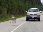 Close encounter: Tim Bartlett photographed a wolf chasing his motorcycle down Highway 93 in Kootenay National Park in British Columbia, Canada