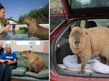 Gary the giant rodent is 'part of the family', says his owner Melanie Typaldos