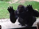 Boo! The fed up gorilla gets its revenge like a pro and a costumed actor couldn't have done it better