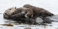 Tiny Sea Otter Siblings Fight the Odds