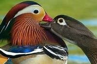 Mandarin Ducks <3