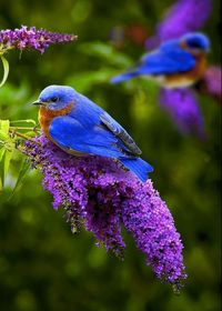 Bluebird On A Butterfly Bush