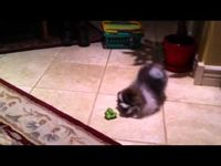 Pomeranian puppy is suspicious of broccoli