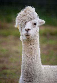 ever seen a dreamy llama? it's probably too cool for you